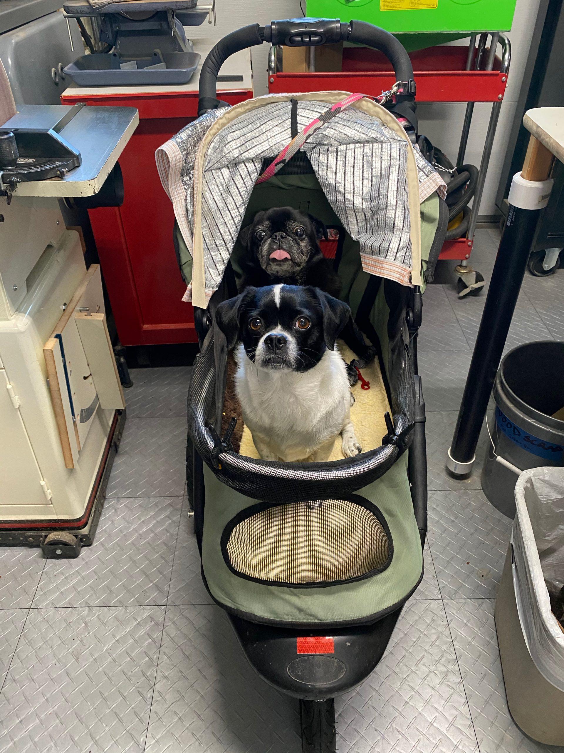 2-Pugs-in-Stroller-scaled.jpeg